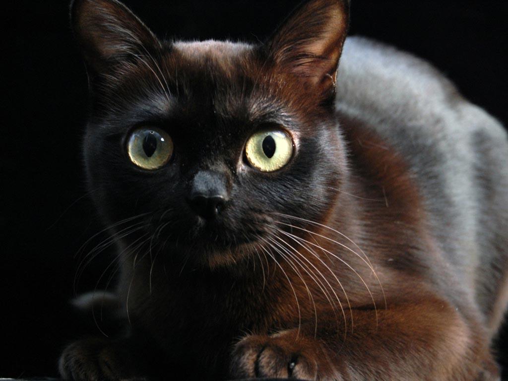 Бурманская кошка: магия востока в глубине мерцающих глаз