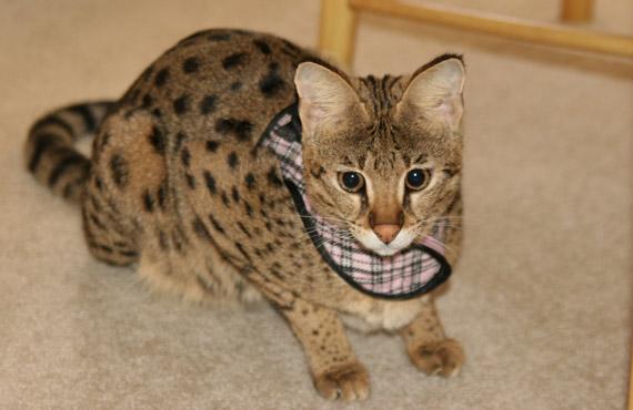 капли в уши желтого цвета Глисты у кошек. Кот, кошка и котята