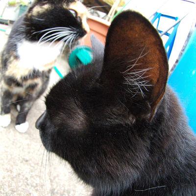 У кота течет кровь из уха
