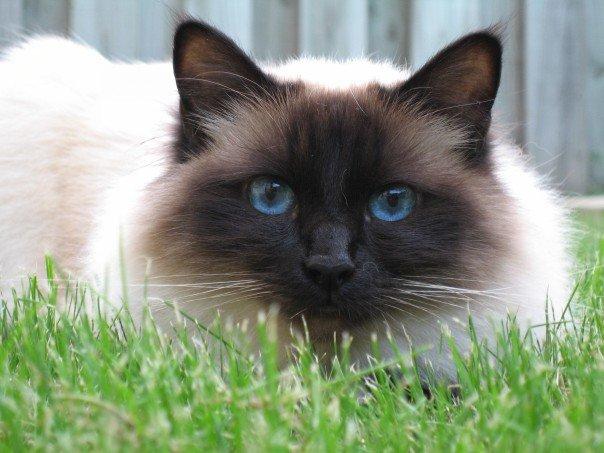 Священная бирманская кошка: истинное воплощение безмятежности