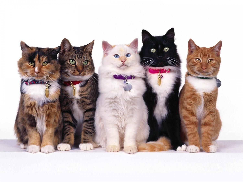 Ошейники для кошек: какие они бывают