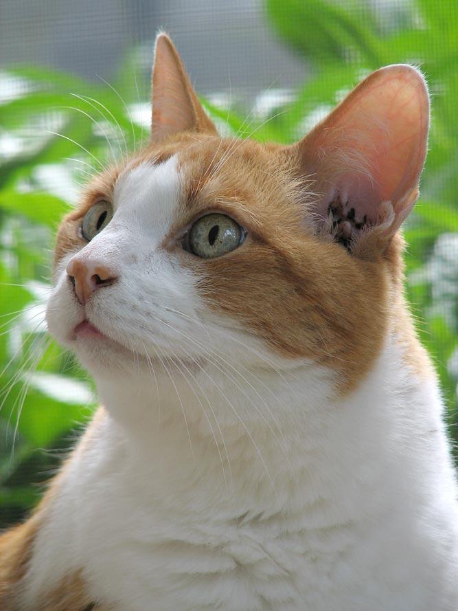Гноятся уши у котов