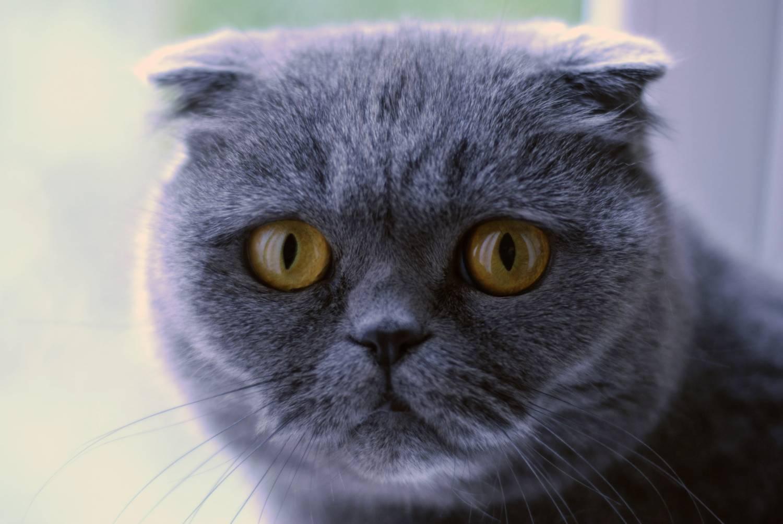 Фото шотландских больших котов