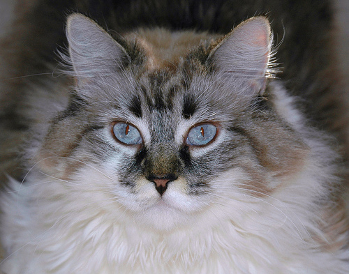 Сибирская кошка: прыжок из тайги на подоконник
