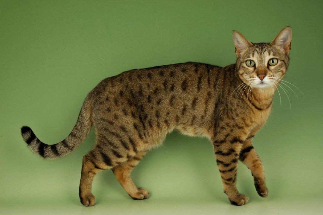 Бенгальская кошка: дикая роскошь класса «люкс»