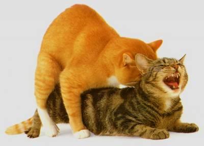 Течка у кошки как выглядит выделения