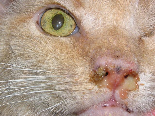 У котенка гноится глаз и чихает что делать