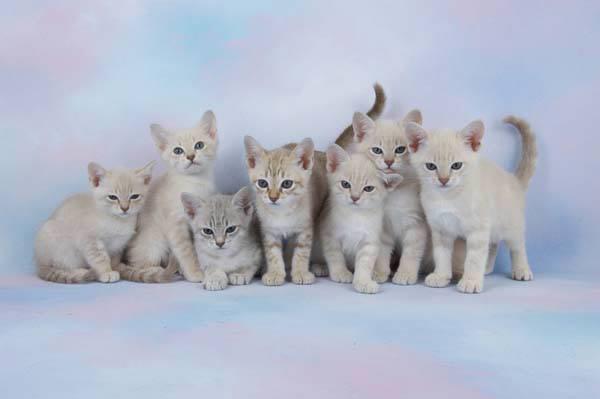 Австралийская дымчатая кошка: мист или микс?