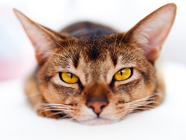 Чем кормить кота при панлейкопении