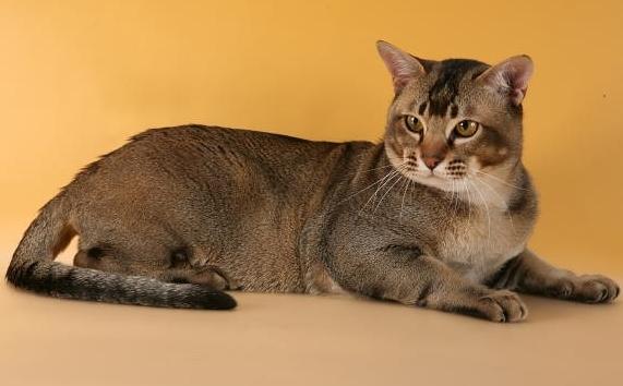 Азиатская кошка: цветное великолепие