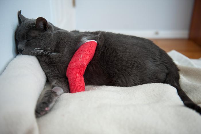 Симптомы перелома у кота
