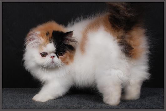 Окрас арлекин у кошек: шутка природы