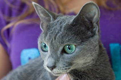 Шартрез: богема кошачьего мира