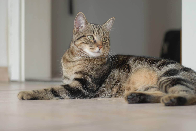 Европейская короткошерстная кошка: наследие кельтов