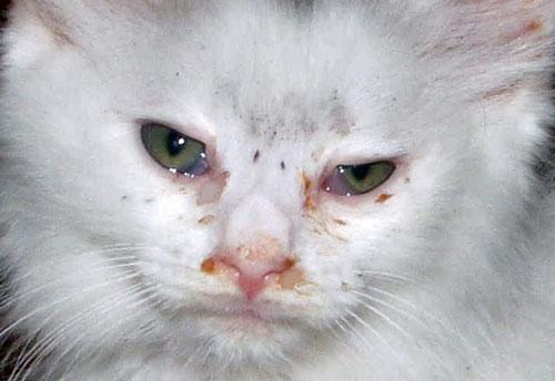 Глаз слезится и гноится у кота чем лечить