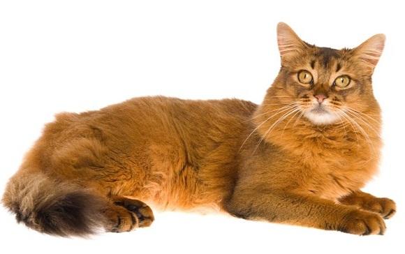 Сомалийская кошка: пушистое солнышко