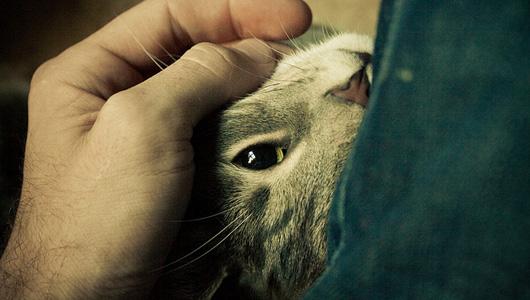 Как и почему кошки мурлыкают?