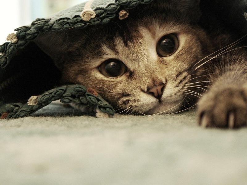 Раковая опухоль у кошки