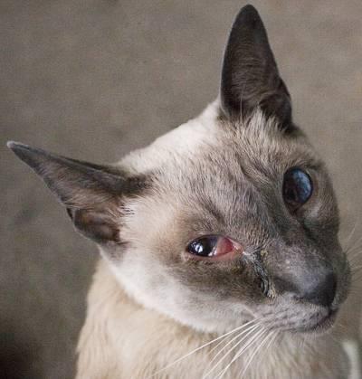 Хламидиоз у кошек симптомы и лечение