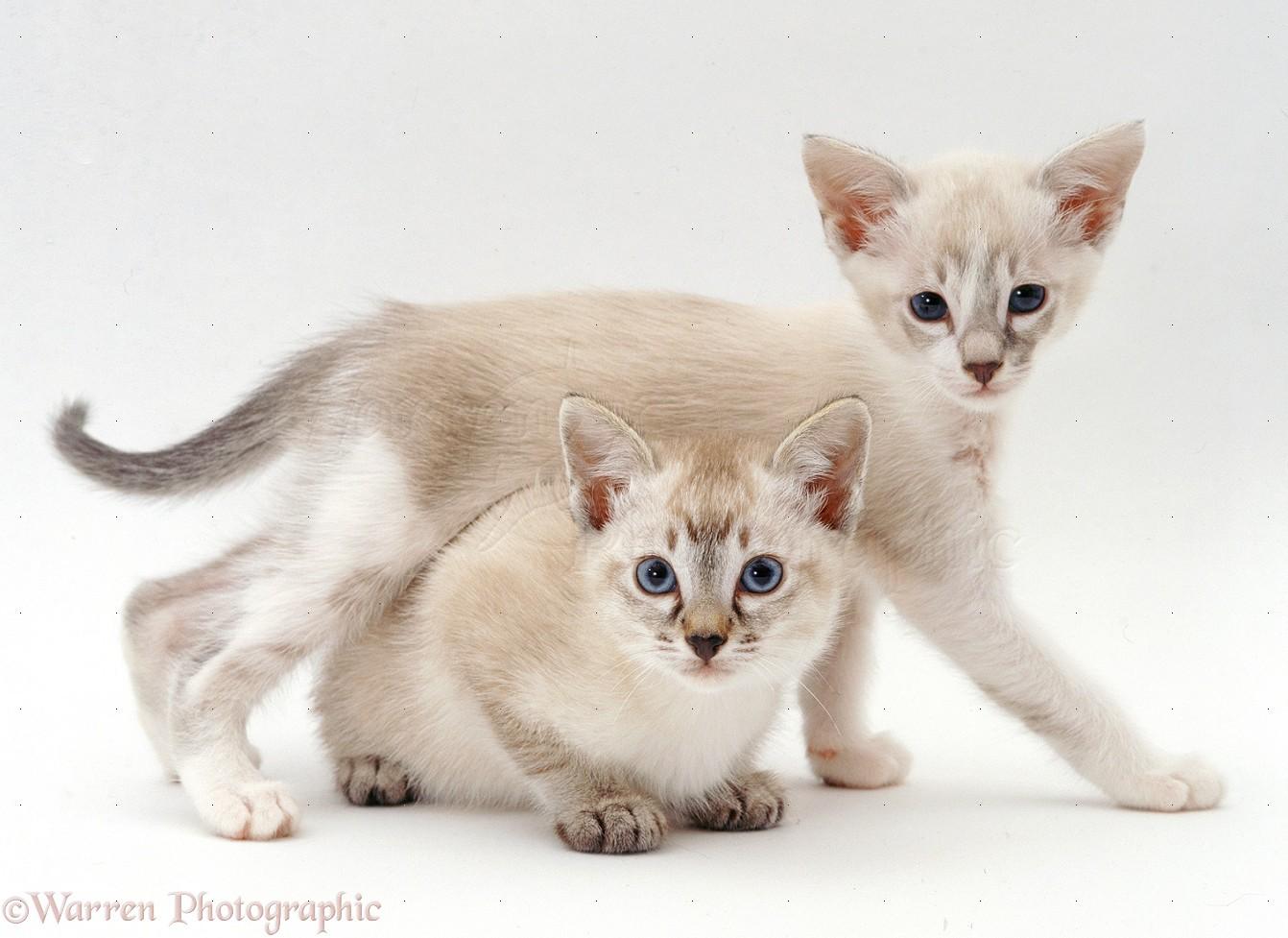 tonkinese cat ile ilgili görsel sonucu