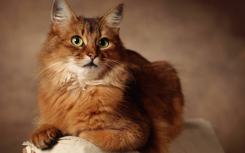 Рыже коричневый кот