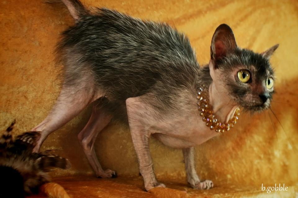 Картинки по запросу ликой кошка