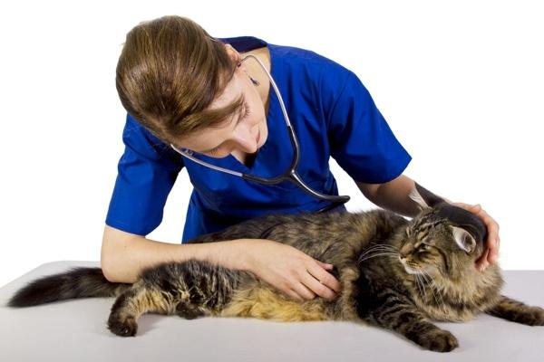 Цирроз печени у кошек