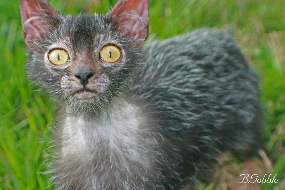 фото кот оборотень