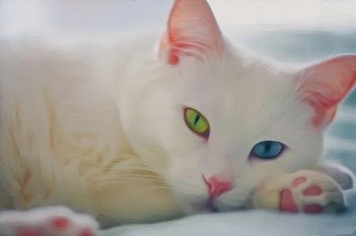 порода кошек као мани описание