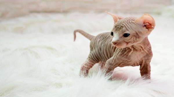 Сфинкс с шерстью порода