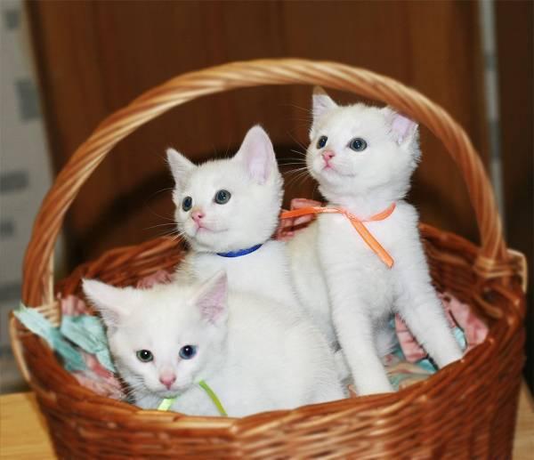 фото кошек корат