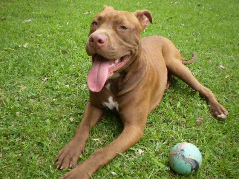 the history of the american pitbull