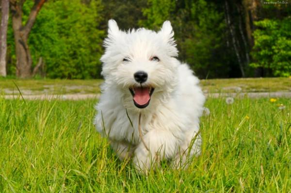 Вест-хайленд-уайт-терьер: история, характер, стандарт, уход и правила выбора щенка ( фото и видео)