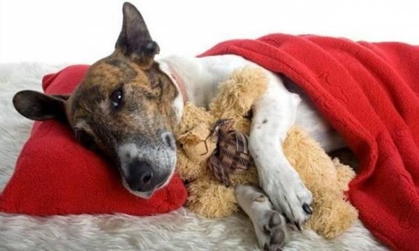 У собаки болит печень симптомы