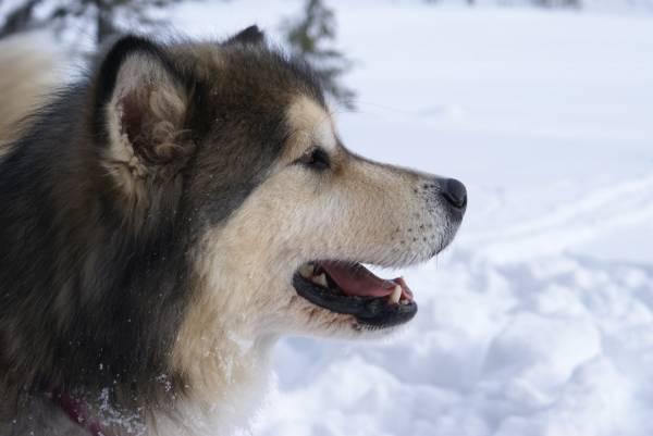 Аляскинский маламут: история, характер, внешний вид и здоровье ( 40 фото)