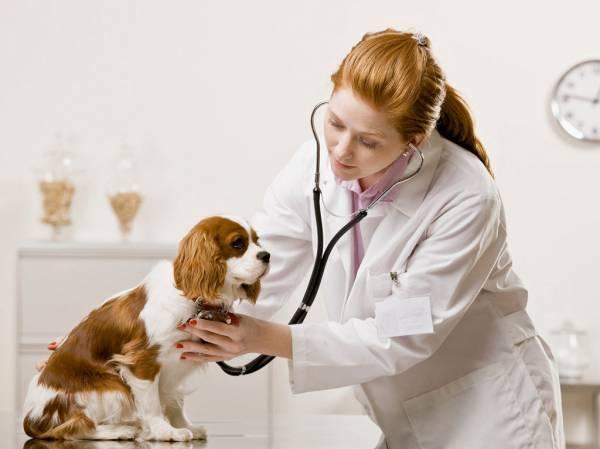 симптомы асцита у собак Асцит у собак: причины, симптомы и лечение