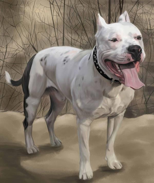 Американский Стаффордширский терьер (Амстафф): внешность, отличия, характер и правила выбора щенка