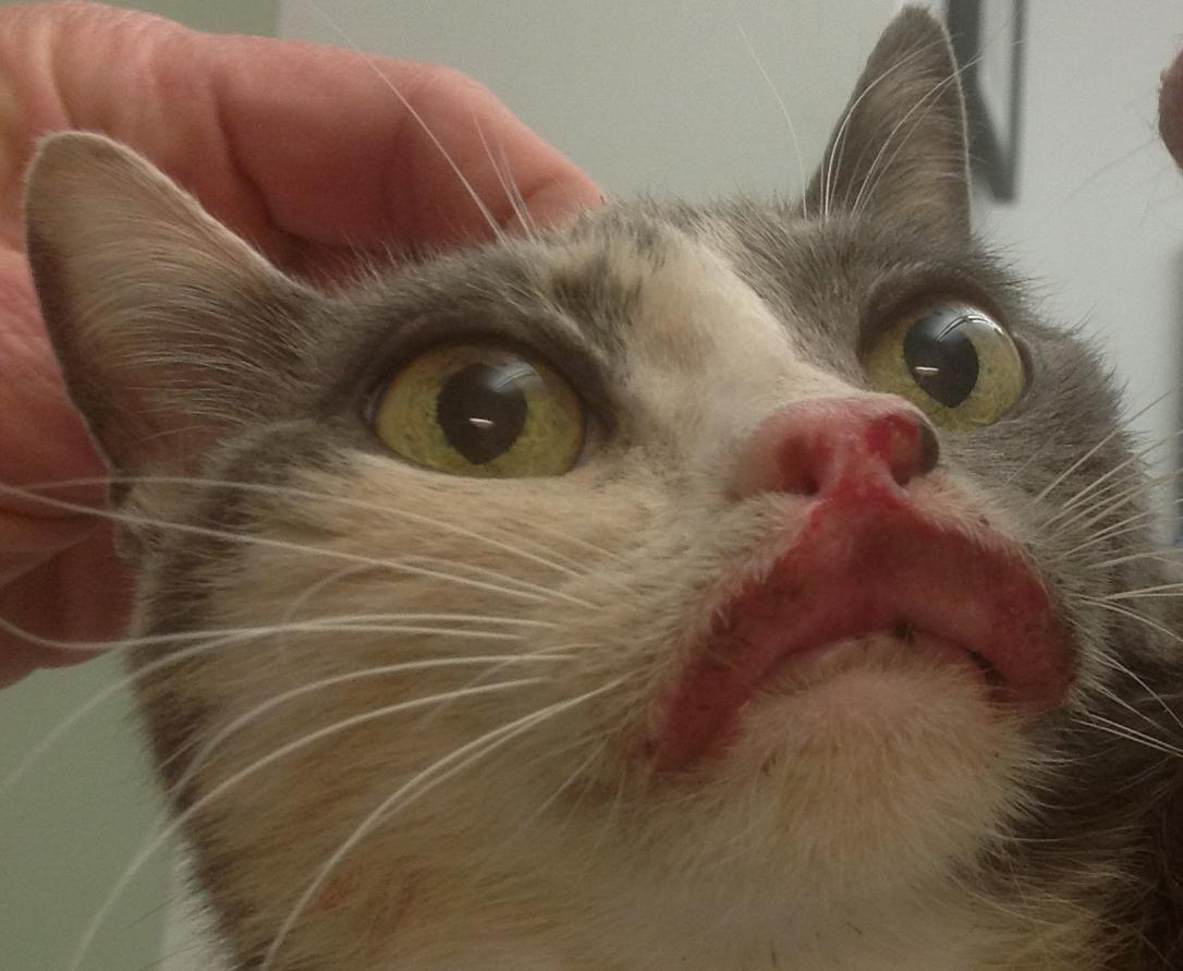 У кота язва симптомы
