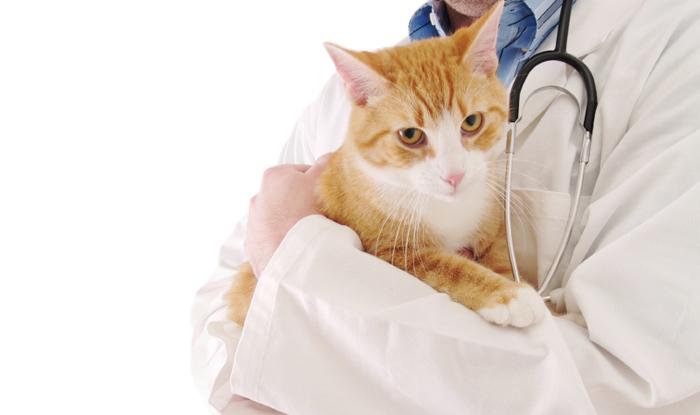 Тромбоэмболия брюшной аорты у кошек симптомы