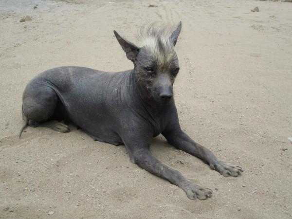 Ксолоитцкуинтли – мексиканская голая собака: о породе от А до Я ( фото)