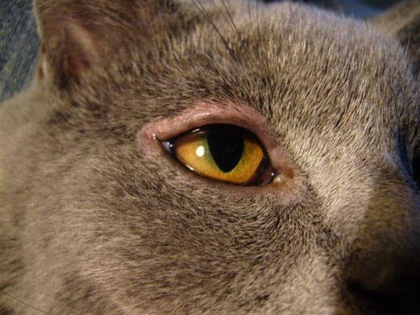 Краснота вокруг глаз у котов