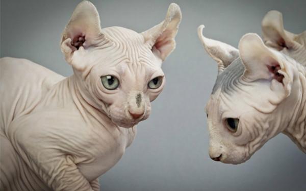 Кошка Эльф - большой обзор породы (+ фото и видео)