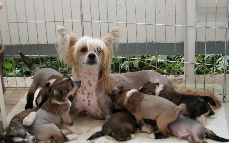 аллергия у китайской хохлатой собаки чем лечить