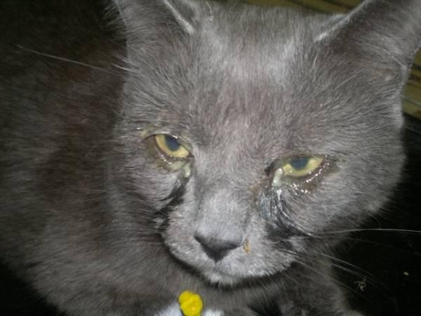 У кота текут глаза