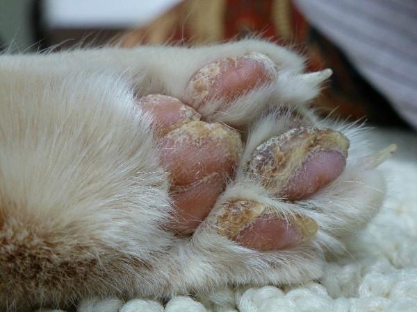 У кота язвы на лапах