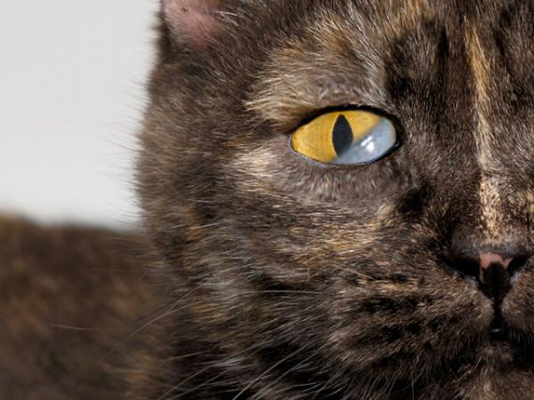 Синдром Горнера (Хорнера) у кошек: причины, симптомы и лечение