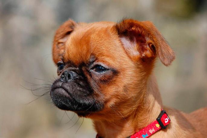 Гриффон: купить щенка гриффона, продажа собак объявления.