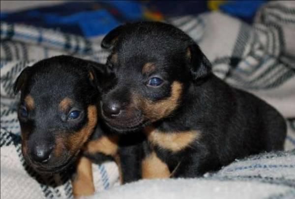укол от глистов для собак цена