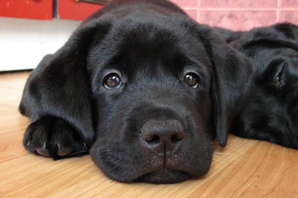 Тронцил для собак инструкция