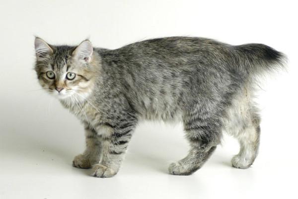 породы пушистых кошек фото и название